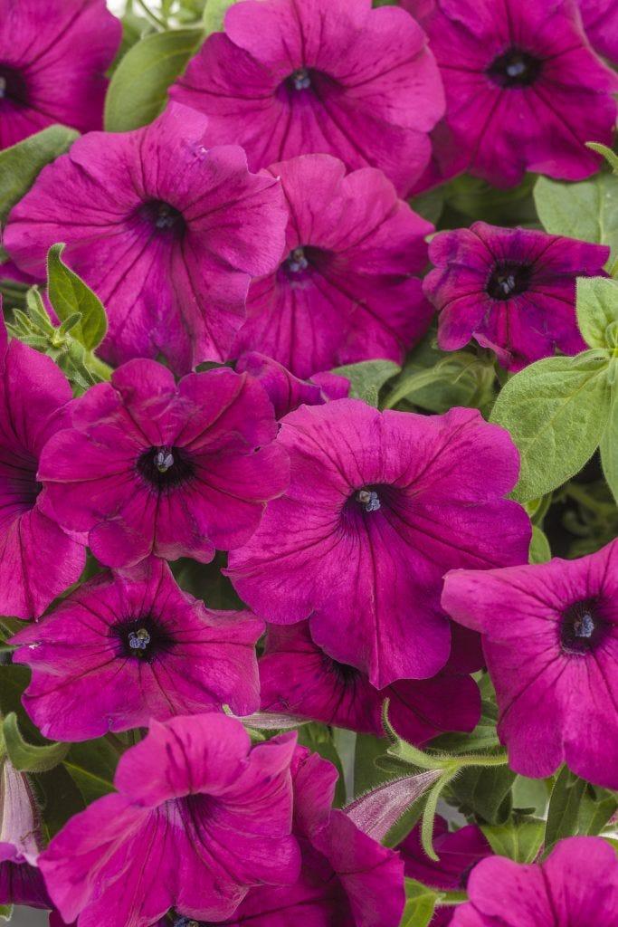 Petunia 'Supertunia Royal Magenta'