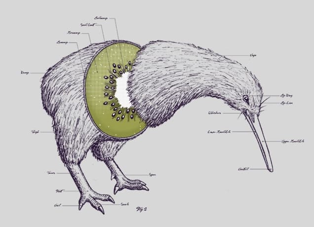 small resolution of kiwi anatomy small view