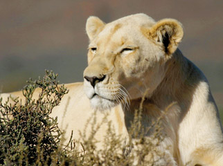 South Africa's Safari Secrets - white lion at Sanbona