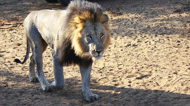 KwaZulu Natal - lion at phinda