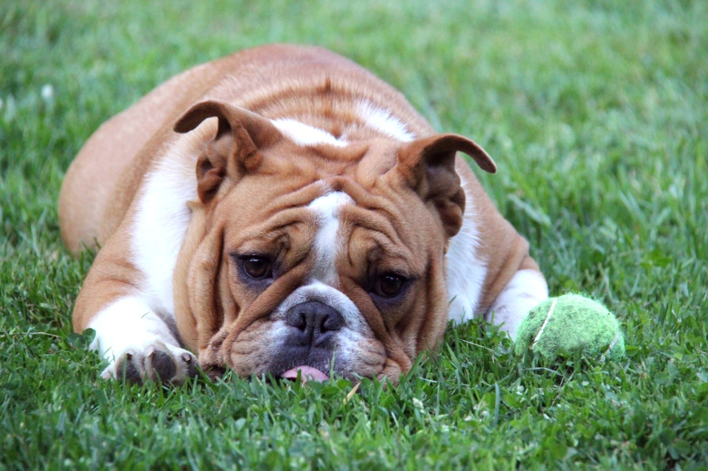 dog begging to play ball - english bulldog laying beside tennis ball in the grass