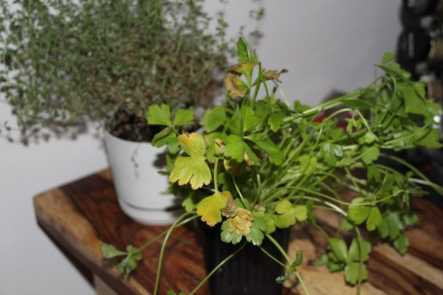 yellow leaves on herb