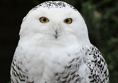 Logan Shows Ny Airports Snowy Owl Solution  Wgbh News