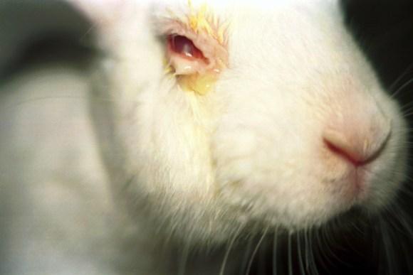 Olho de coelho no teste de  Irritação dos Olhos (Draize).