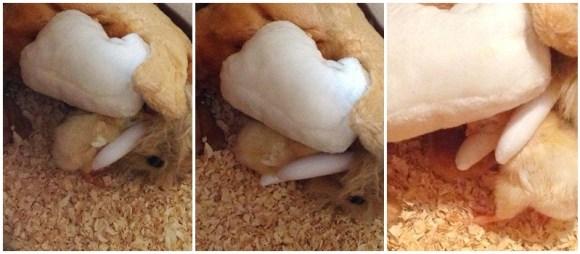 dida-pintinho-dormindo-debaixo-asas-mãe-pelúcia-galinha