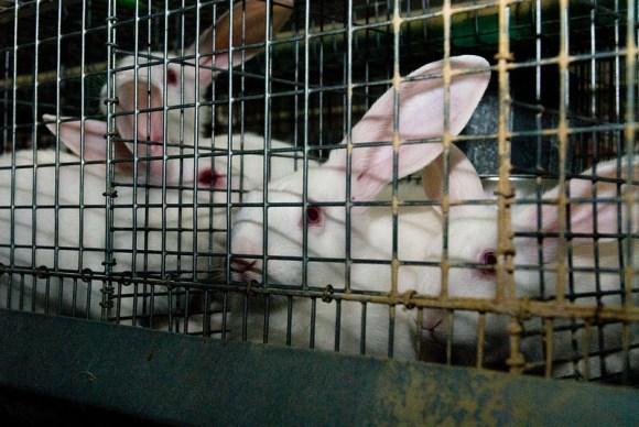 Ativistas-italianos-libertam-coelhos-da-indústria-da-carne-camaleão