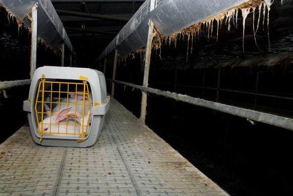 Ativistas-italianos-libertam-coelhos-expoem-indústria-da-carne-camaleão