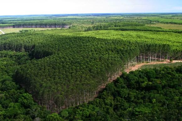o-monocultivo-do-eucalipto-parece-floresta-agua-e-biodiversidade