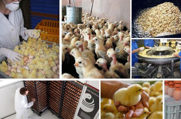 galinhas-soltas-ovos-pintinhos-descartados-criação-de-galinhas-pintinhos-incubadoras-veganismo