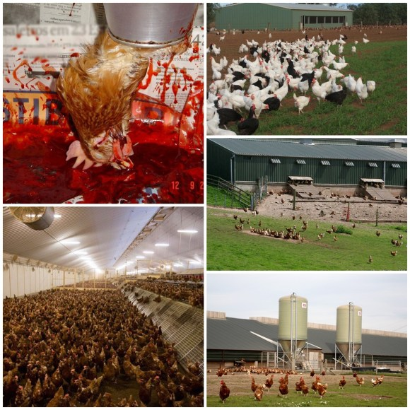 qual-o-problema-de-consumir-ovos-de-galinhas-soltas-free-range-debicagem-seleção-genética-domesticação-direitos-animais-veganismo-abolicionismo