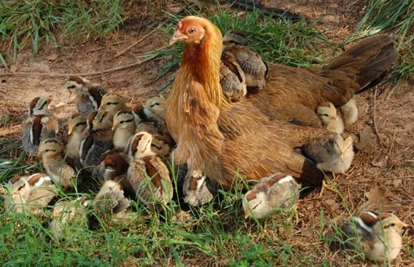 ovos-eticos-galinhas-soltas-etica-animal-qual-o-problema-consumir-ovos-veganismo-hen-family