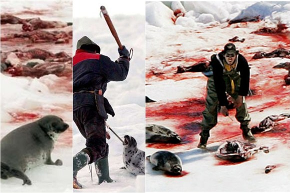 poluindo-a-lingua-inglesa-para-descaracterizar-massacres-e-destruicao-caça-as-bebes-focas-canadenses-
