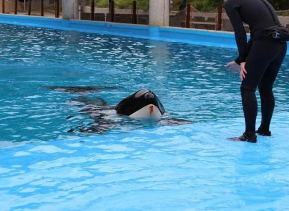 animais-no-seaworld-agridem-uns-aos-outros-por-estresse-aquarios-zoológicos-circos-blackfish
