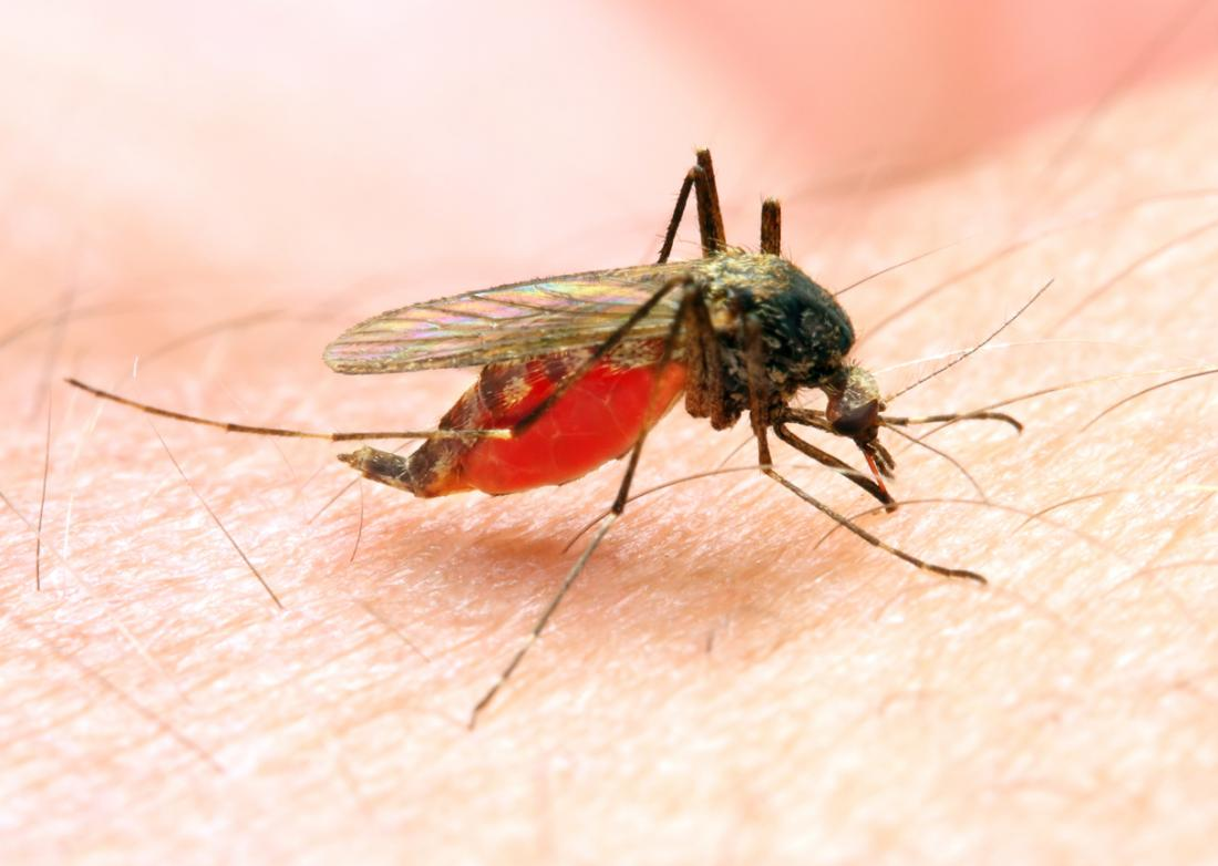 The Anopheles mosquito passes on malaria.