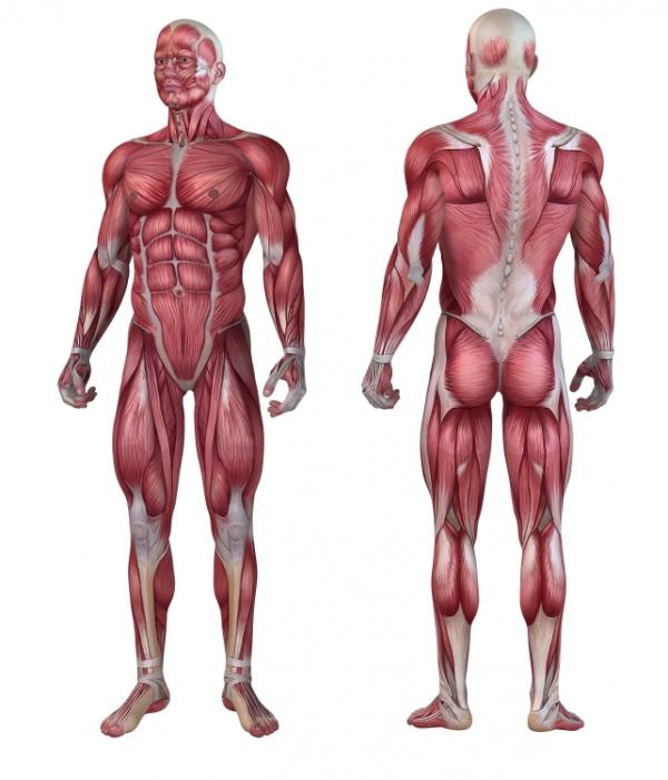 [Muscle anatomy illustration]