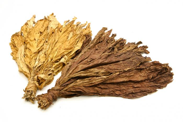 Tobacco leaves containing nicotine