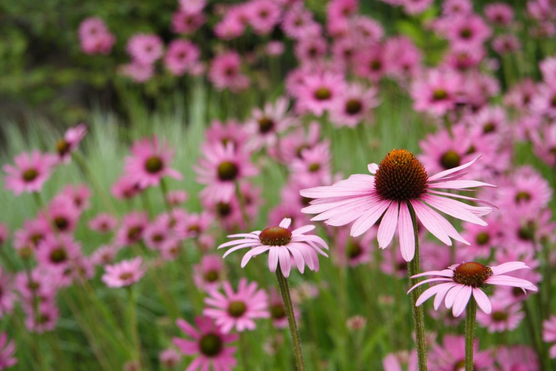 purple coneflowers in a field