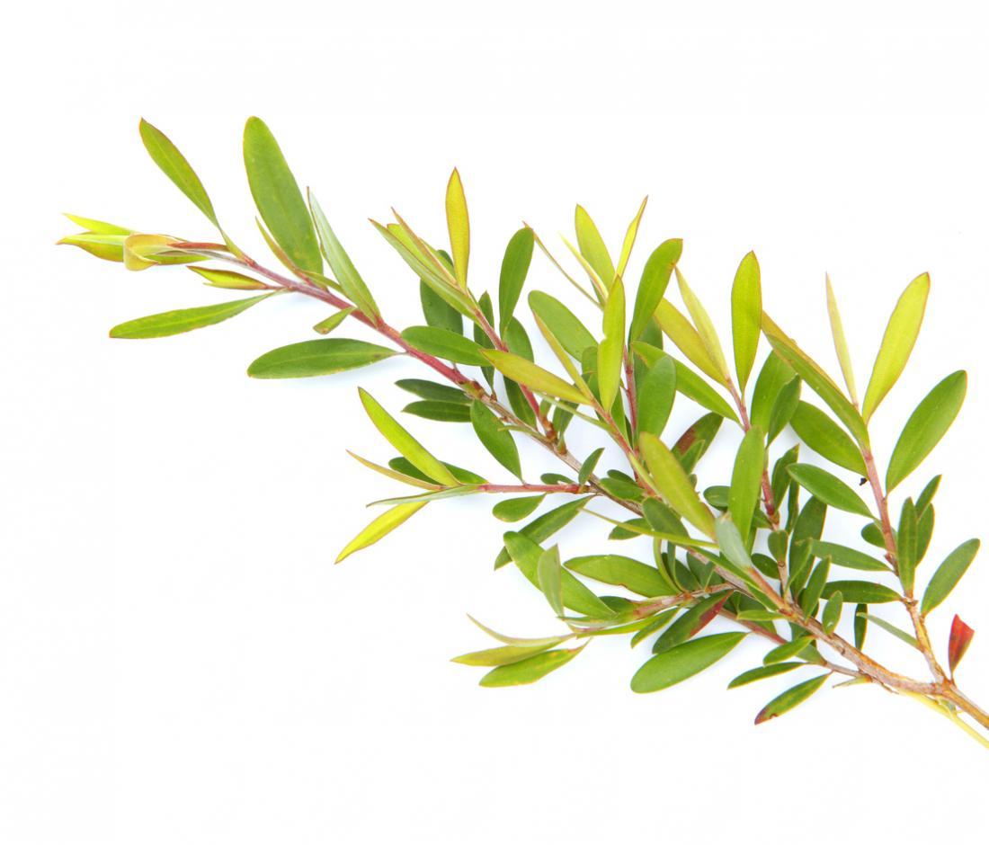 [Tea tree oil plant]