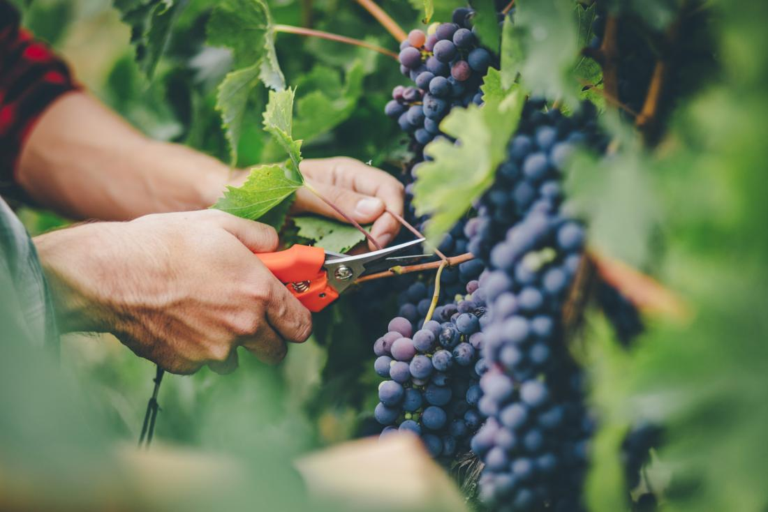 Red grapes and nonalcoholic red wine also offer the benefits of resveratrol.
