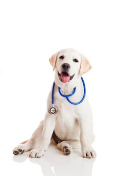 Dog sitting with a stethoscope