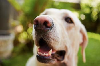 Gros plan, chien, nez