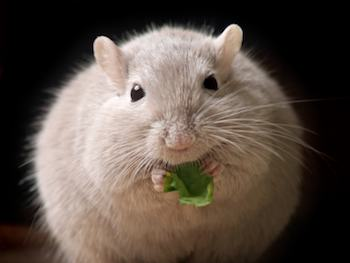 Obese mouse eating a leaf