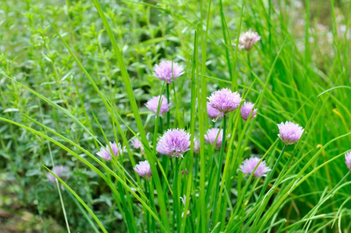 [chives are an allium ]