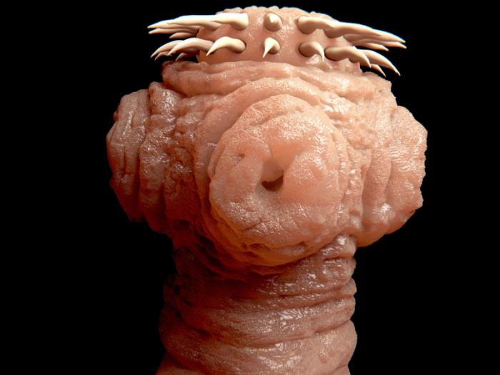 Tapeworm Parasite >> Should We Worry About Tapeworms