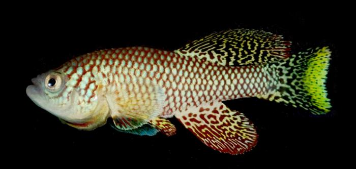 Young African Turquoise Killifish
