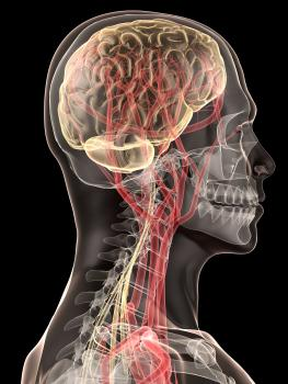 Human brain and nerves.