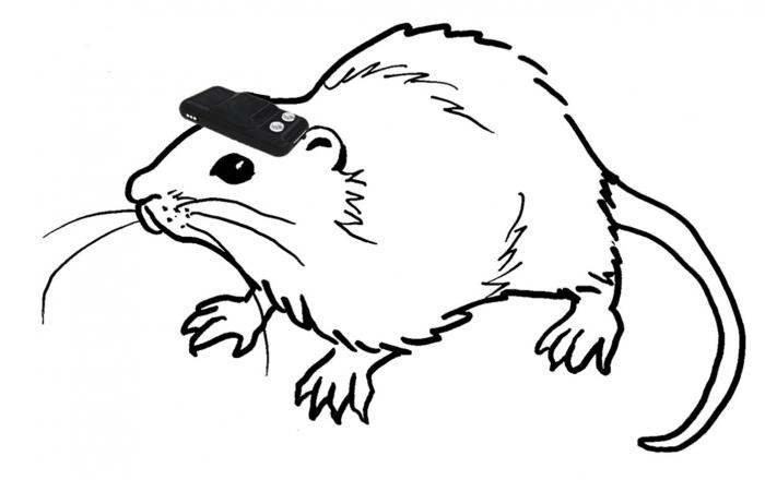 A rat wearing a head-mounted sensor device