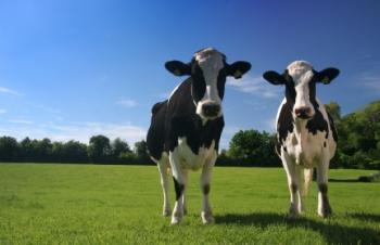 Two cows grazing in a field.