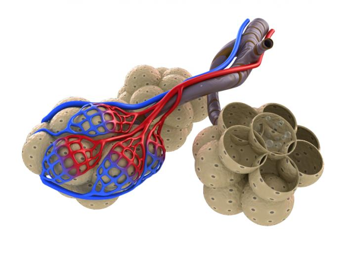 alveoli in lungs
