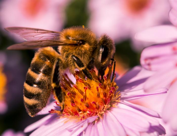 honey bee on aster flower