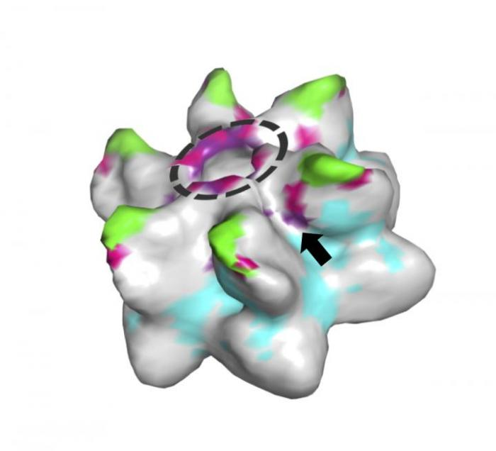 Model of a Retrovirus Capsid Hexamer