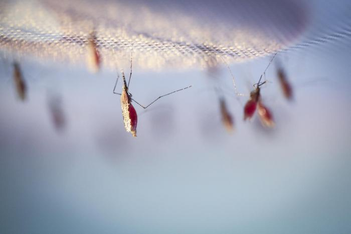 Mosquitoes feeding on a blood meal