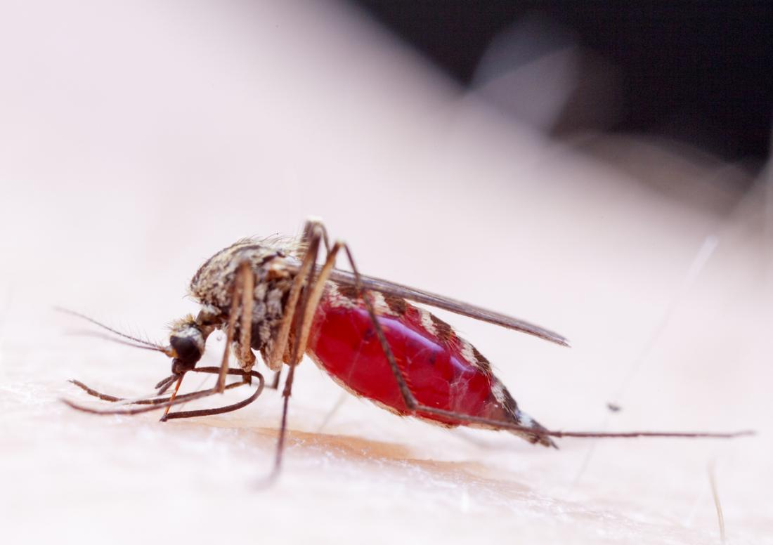 Zika aedes mosquito