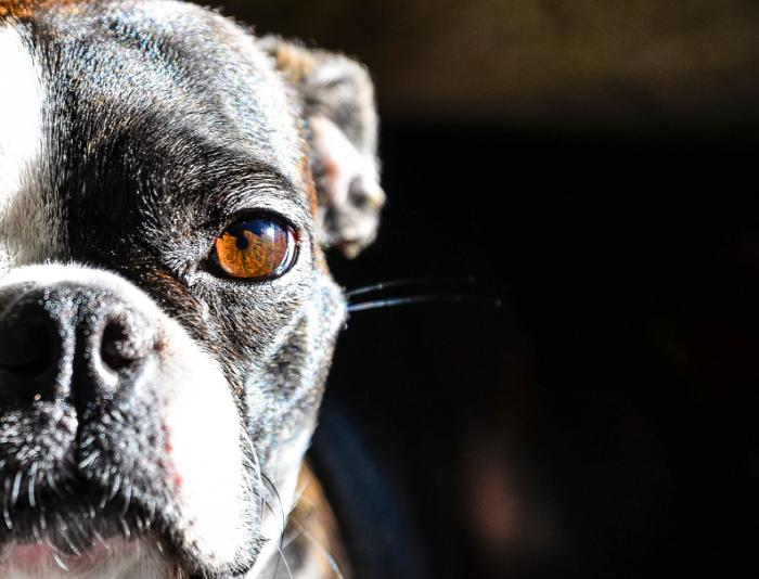 [Boston terrier close up]