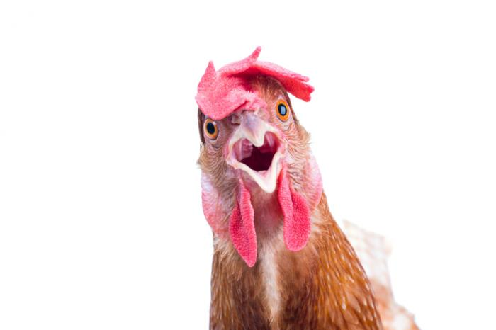 [A shocked chicken]