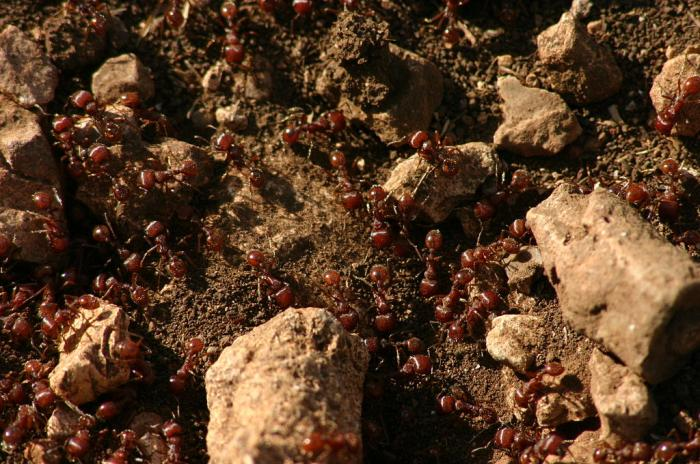 Fire ants on a mound.