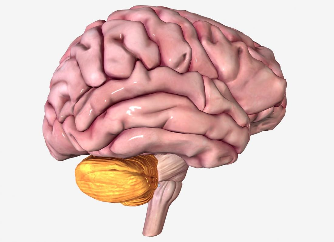 Cerebrum Definition Diagram Function And More