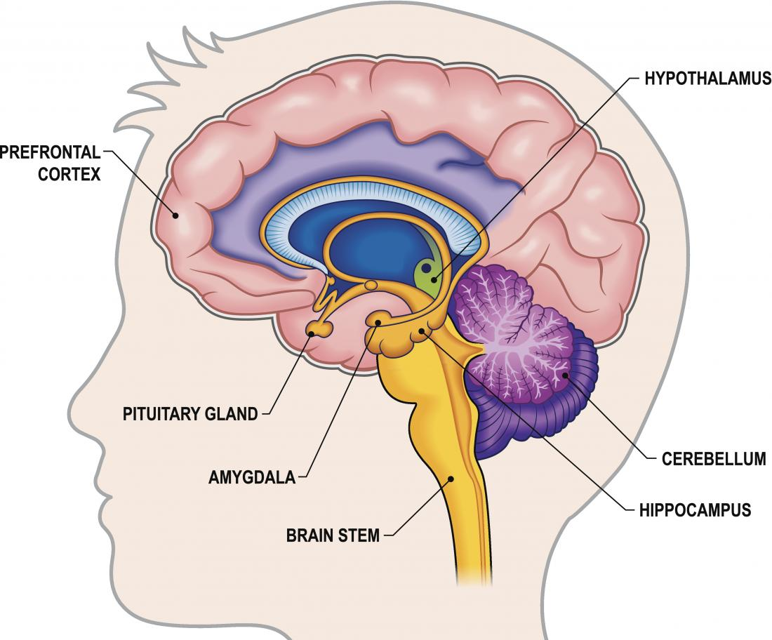 Hippocampus Function Size And Problems