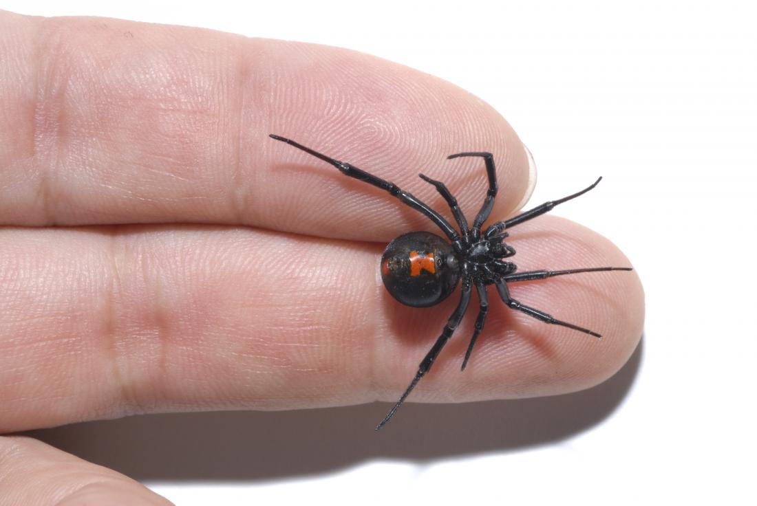 Black Widow Spider Bite Causes Appearance Symptoms And