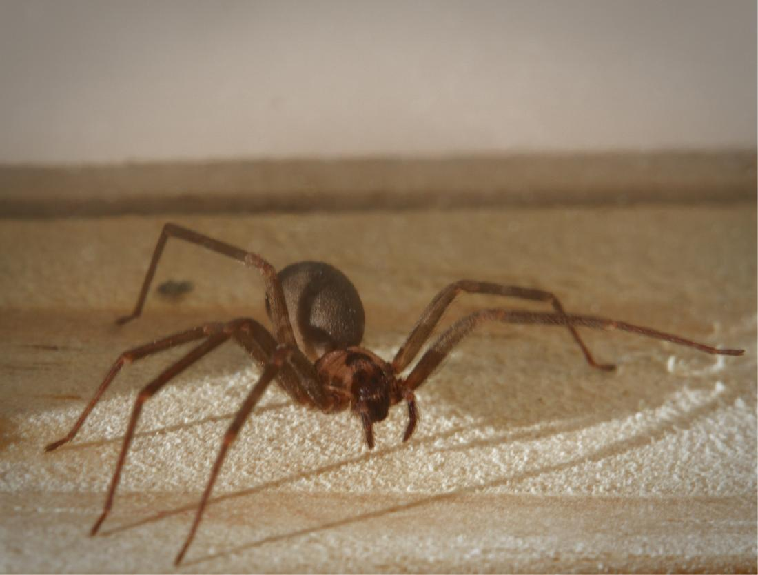 Brown Recluse Spider Bite Appearance Symptoms And Home Treatments