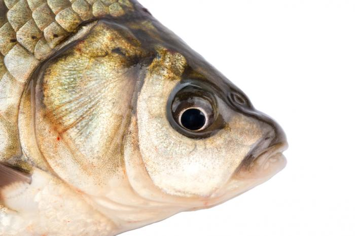 [Close up of fish head]