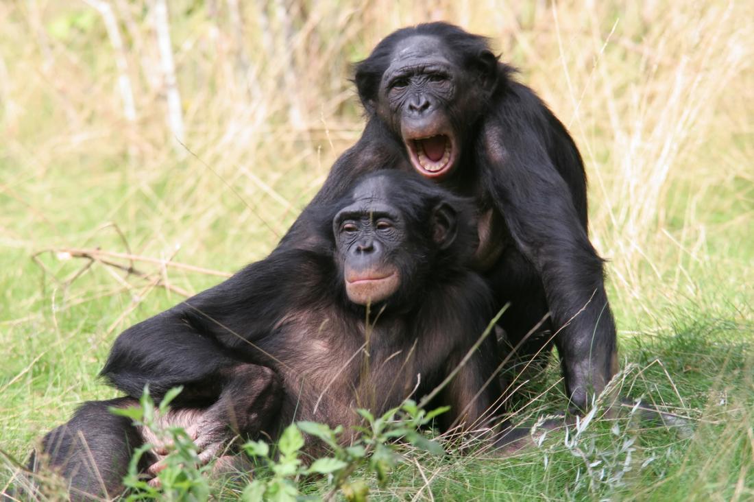 [Bonobos yawning]