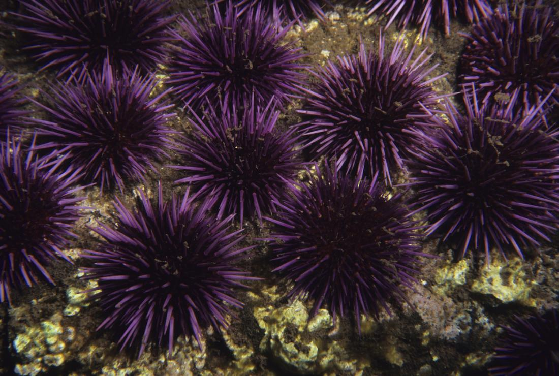 Some sea urchin species are more dangerous than others.
