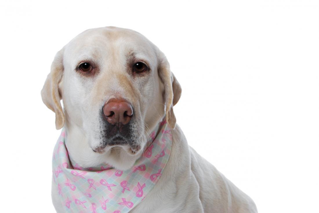 Cancer smelling dog