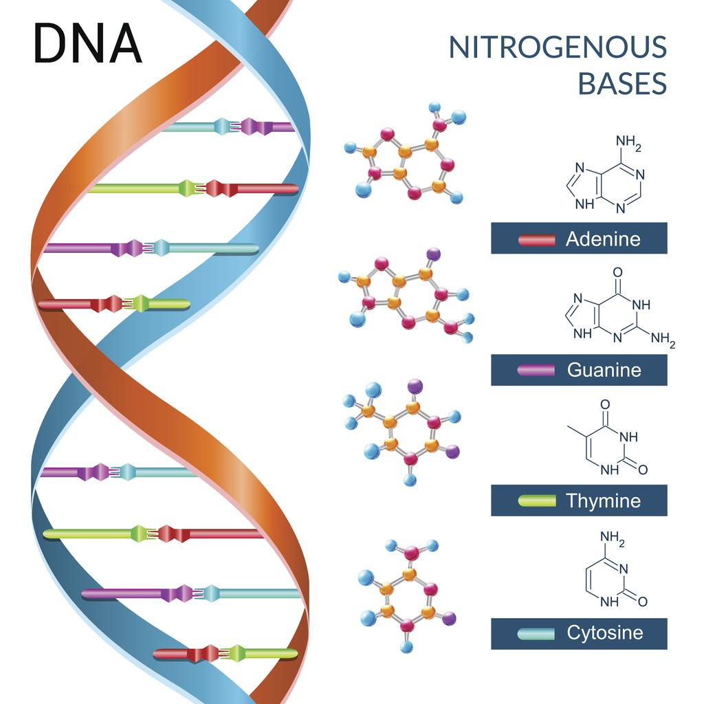 dna explained structure and