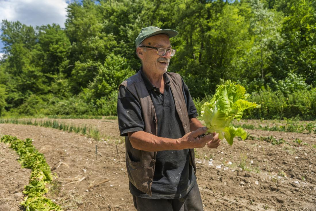 Older adult with cabbage in a field